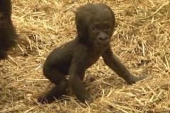 gorilla-tiny