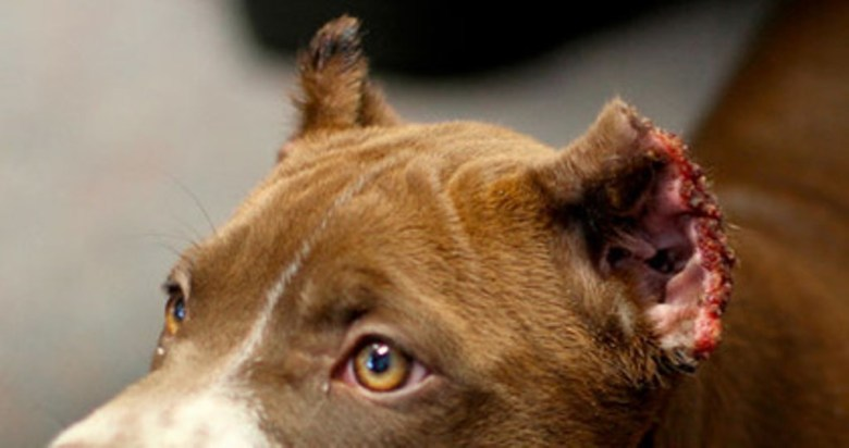 Dog Ear Cropping Veta